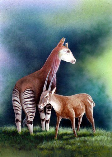 The okapi and the saola bookend the remarkable zoological discoveries of the 20th Century. Illustration by William Rebsamen.