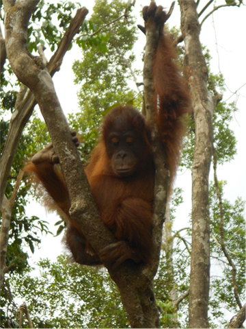 Orangutan in Tanjung Puting National Park in Kalimantan, Indonesia. Photo by: Cynthia Malone.