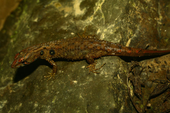 A female Potamites montanicola, a new species of lizard discovered in the Peruvian Andes. Photo courtesy of German Chávez.