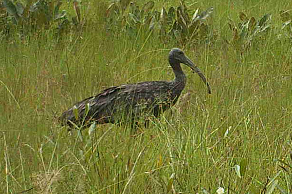 Detail of camera trap photo showing giant ibis in Cambodia's Koh Kong Province. Photo by: Wildlife Alliance.