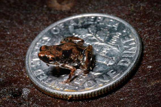 The new species Paedophryne amauensis is the world's smallest vertebrate...so far.