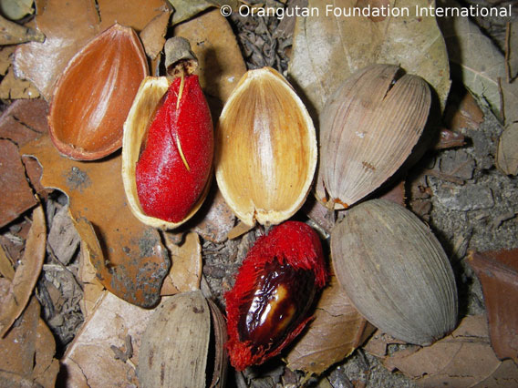 Penmpalaan is a wild fruit sought after by Borneo's orangutans. Photo courtesy of Orangutan Foundation International.