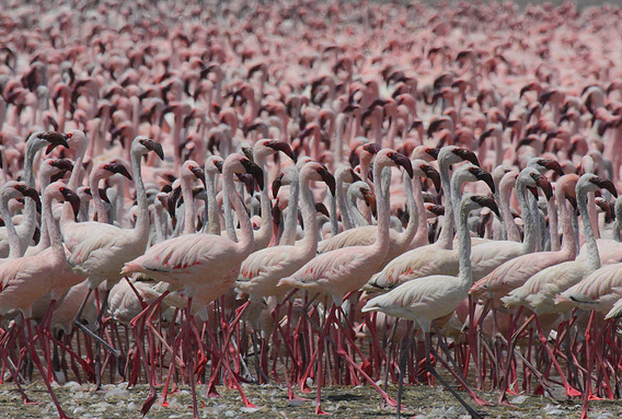 Thousands of lesser flamingoes (Phoenicopterus minor) crowd in Lake Bogoria in Kenya. Nearly all of these flamingoes will breed in Tanzania's Lake Natron, now a proposed site for soda ash mining.  Photo by: Steve Garvie.