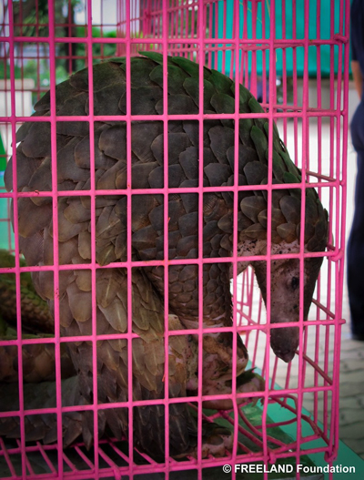 Rescued Sunda pangolin. Photo by: FREELAND Foundation.