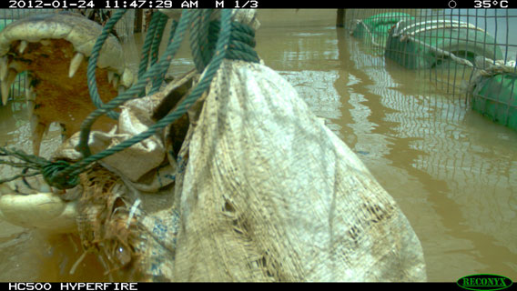 The crocodile, dubbed Lais, taking the bait as captured. Photo courtesy of DGFC.