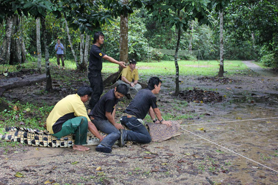 Danau Girang Field Center (DGFC) and Wildlife Rescue Unit staff securing crocodile's powerful mouth. Photo courtesy of DGFC.