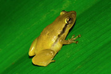 Confirmed new frog species from Betampona Forest Reserve in the Platypelis genus.. Photo by: Gonçalo M. Rosa.