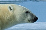 Polar bear family wakes up in oil construction site (video)