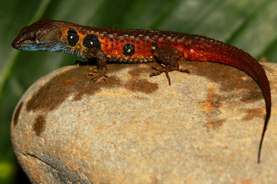 A male Potamites montanicola, a new species of lizard discovered in the Peruvian Andes. Photo courtesy of German Chávez.