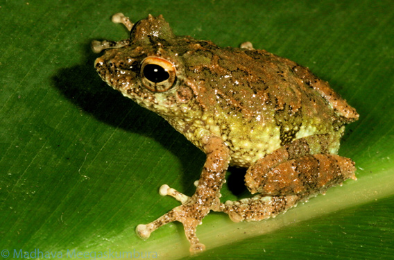 Discovered in a cloud forest <i>Pseudophilautus hankeni</i> measures just 2.19 centimeters long. This new species is Critically Endangered. Photo courtesy of Madhava Meegaskumbura..