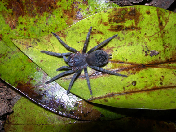 Amazingly this is the first new species from Brazil to make this list. Sazima's tarantula (Pterinopelma sazimai), which is stunningly blue, is found on a single flattop mountain in the mega-biodiverse country. Photo by: Caroline S. Fukushima.