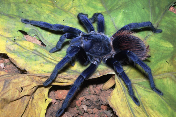 Sazima's tarantula: one of the top ten new species discovered in 2011 according to the annual list by the International Institute for Species Exploration at Arizona State University. Photo by: Caroline S. Fukushima.
