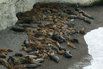 South American sea lions at the Punta Loma rockery. Photo by: JF Thye.