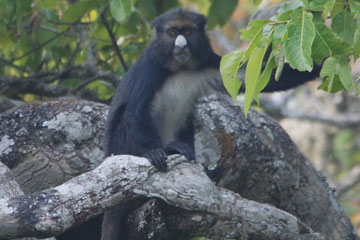 One denizen of Ngel Nyaki forest: the putty nose monkey. Photo by: Matt Walters.