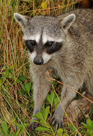 The pygmy raccoon could make a good conservation icon according to a new paper. The species is only found on the island of Cozumel. Photo by: Scott Camazine.