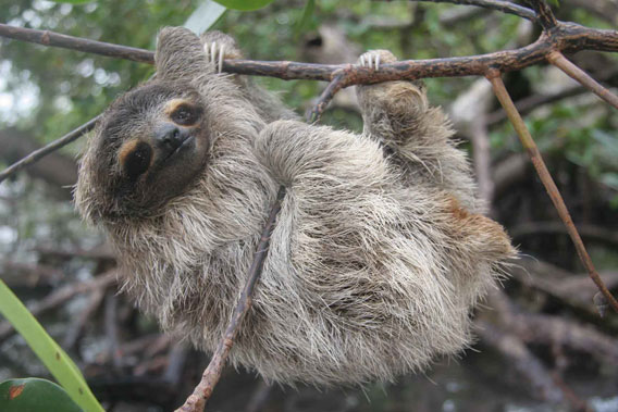 EDGE's next expedition will be to assess the pygmy sloth. Photo by: Bryson Voirin.