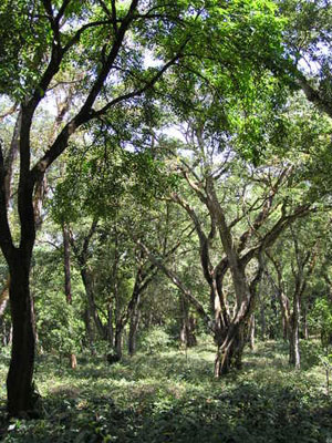 Traditional shade coffee plantation preserves trees for a variety of biodiversity. Photo courtesy of M.O. Anand.