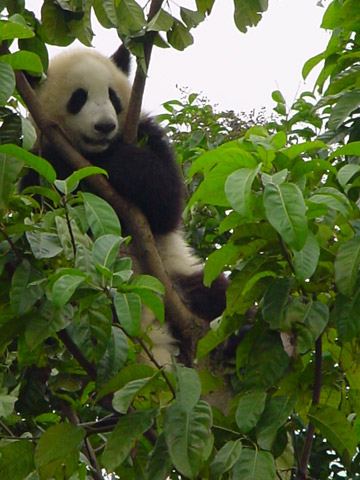 Conserving and restoring panda habitat is key to their survival. Photo by: Sarah Bexell.