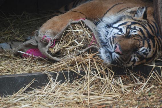 The Sumatran tiger, Raika, at the London Zoo. Photo courtesy of the Zoological Society of London (ZSL).