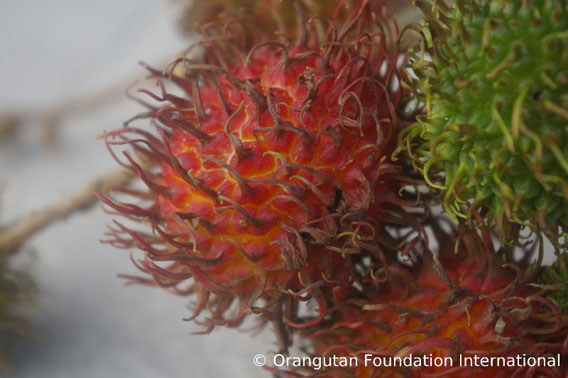 the Rambutan fruit. Photo courtesy of Orangutan Foundation International.