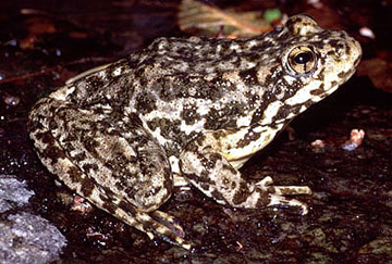 Mountain yellow-legged frog. Photo by: Chris Brown, USGS.