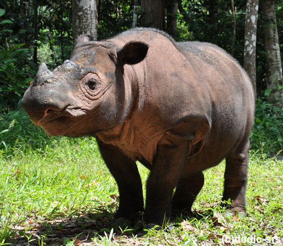 Conservationists hope Ratu, pictured above, has a successful third pregnancy. Photo by: International Rhino Foundation.