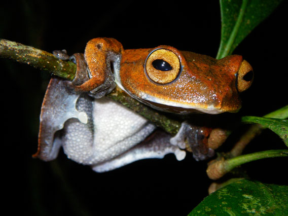 >One of Jodi Rowley&#8217;s new discoveries: the vampire flying frog (Rhacophorus vampyrus). Photo by: Jodi J. L. Rowley/Australian Museum. &#8221; ><br /> <i>One of Jodi Rowley&#8217;s new discoveries: the vampire flying frog (</i>Rhacophorus vampyrus<i>). Photo by: Jodi J. L. Rowley/Australian Museum. </i></p> <p>In 2009 researchers discovered 19,232 species new to science, most of these were plants and insects, but 148 were amphibians. Even as amphibians face unprecedented challenges&#8212;habitat loss, pollution, overharvesting, climate change, and a lethal disease called chytridiomycosis that has pushed a number of species to extinction&#8212;new amphibians are still being uncovered at surprising rates. One of the major hotspots for finding new amphibians is the dwindling tropical forests of Southeast Asia. </p> <p>&#8220;Southeast Asian amphibians are poorly known&#8212;new species are continuously being discovered and for the species that we do know of, we don't know enough about many of them to know if they&#8217;re threatened with extinction or not [&#8230;] Because we don't yet know the true diversity or conservation status of Southeast Asian amphibians, they&#8217;ve tended to slip under the global conservation radar,&#8221; Jodi Rowley, herpetologist with the Australian Museum in Sydney, told mongabay.com in a recent interview. Rowley, who only received her PhD in 2007, has already helped describe ten new species, including a frog that chirrups like a bird and another that is evocatively named the vampire flying frog. </p> <p>&#8220;Its unusual name is for a good reason though&#8212;the tadpoles of the species are truly bizarre. With two, curved, black &#8216;fangs&#8217; protruding from their mouth in place of the usual tadpole mouthparts, I think it deserves the name and the attention! There's no doubt a fascinating reason for these teeth&#8212;and we're working on discovering that,&#8221; explains Rowley.</p> <p>The best place to discover new amphibian species in Southeast Asia are high-altitude montane forests. Rowley says there is a number of reasons for this: &#8220;Montane forests are areas of high amphibian diversity. They're also areas of high endemism&#8212;over time, frogs on mountains often become &#8216;trapped,&#8217; unable to cross valleys to reach the next mountain, and become different species&#8212;those adapted to the unusually cool, wet conditions found at the top of mountains. The inaccessibility of montane areas (rugged terrain in remote areas) has also afforded the forest in these areas some protection from habitat destruction.&#8221;</p> <table align=right> <tr> <td width=20></td> <td width=360> <img src=https://photos.mongabay.com/j/interview.rowley.DSC_2491.360.jpg width=360 alt=
