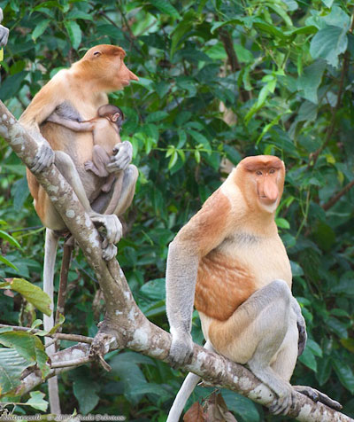 Sabah's proboscis monkey (Nasalis larvatus) population is declining due to habitat loss as riparian forest are continually destroyed to plant oil palm and mangrove areas reclaimed for development. Photo courtesy of Rudi Delvaux/DGFC/SWD.