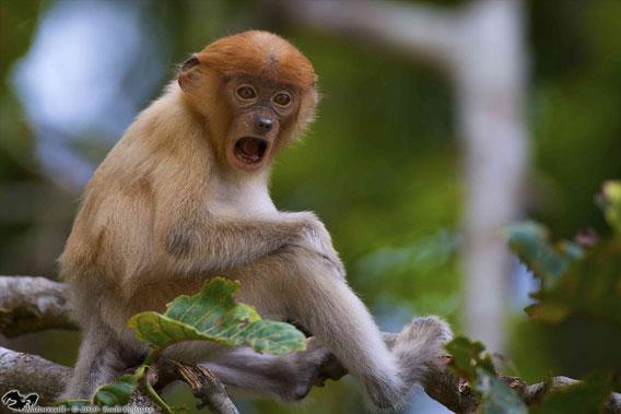 Young proboscis monkey. Photo courtesy of Rudi Delvaux/Danau Girang Field Center (DGFC)/Sabah Wildlife Department (SWD).