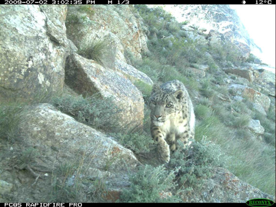 Snow leopard in the Wakhan Corridor caught on camera trap. Photo by: Wildlife Conservation Society.