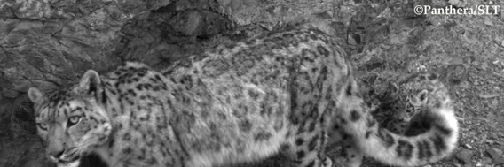 Mother snow leopard and cub recently caught on camera trap in the Southern Gobi of Mongolia. Research there is providing new information about the private lives of the world's most elusive big cat. Photo © Panthera/Snow Leopard Trust.