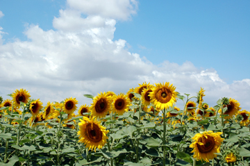 Sunflowers in Southern Russia. Photo courtesy of Saga Voyages.
