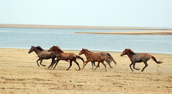 Wild horses in the Rostov Biosphere Reserve. Photo courtesy of Saga Voyages.