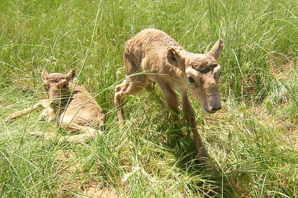 Saiga calves.  Photo by: Nils Bunnefeld.
