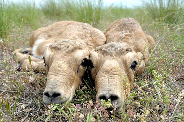 A pair of saiga calves.  Photo by: Igor Shpilenok.
