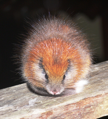 The red-crested tree rat. Photo by: Photo by: Lizzie Noble/ProAves.