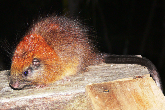 Not seen for over a century, these are the first photos of the red-crested tree rat. Photo by: Lizzie Noble/ProAves.