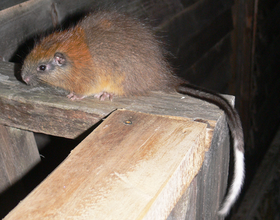 The red-crested tree rat. Photo by: Lizzie Noble/ProAves.