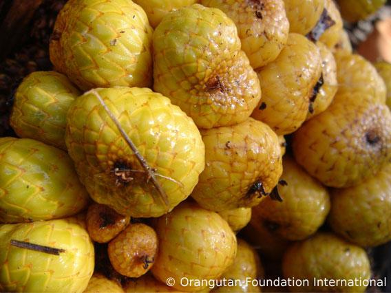 Semaram fruit. Photo courtesy of Orangutan Foundation International.