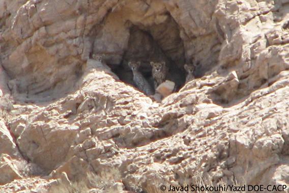 A rare image of a mother Iranian cheetah and its three cubs. Photo by: Javad Shokouhi/Yazd DOE-CACP.