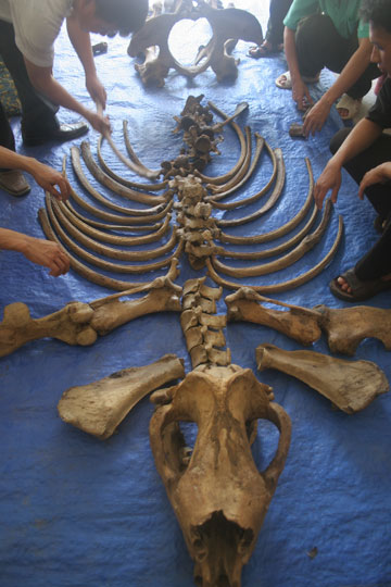 Skeleton of what was likely the world's last Vietnamese rhino. Photo courtesy of WWF.