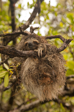 Another three-toed pygmy sloth. Photo © Craig Turner/ZSL.