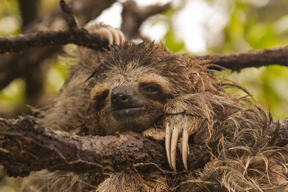 The three toed pygmy sloth. Photo © Craig Turner/ZSL.