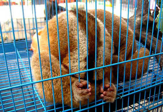 Slow loris photographed in Jakarta market last month. Photo: © TRAFFIC.
