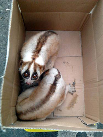 Slow lorises photographed in Jakarta market last month. Photo: © TRAFFIC.