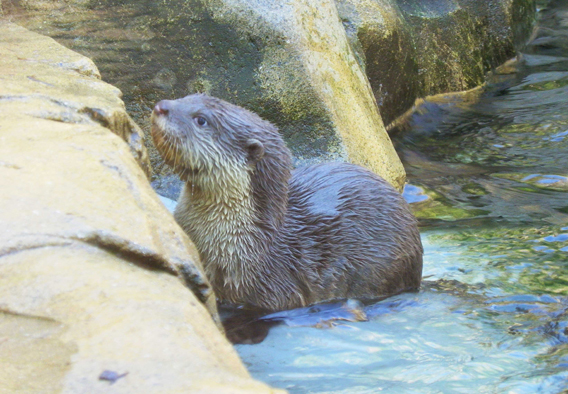 Two male smooth-coated otter cubs were recently born at the Colchester Zoo. Photo by: Colchester Zoo.