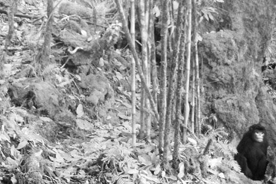 WWeltweit erstes Foto eines lebenden Burmesischen Stumpfnasenaffen.  Foto: FFI/BANCA/PRCF