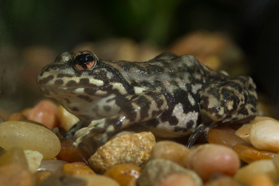 The San Diego Zoo Institute for Conservation Research in California, USA has been a partner in the recovery of the Southern California population of Mountain Yellow-legged Frogs, Rana muscosa, over the past five years and continues to make progress in captive breeding and reintroduction efforts of this endangered species. Photo: Ken Bohn, San Diego Zoo.