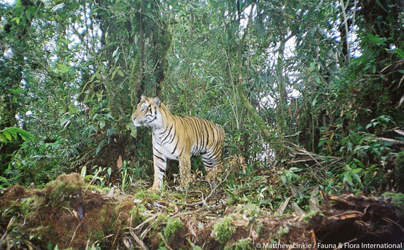 Wild Sumatran tiger. Photo by: Matthew Linkie/Fauna and Flora International.