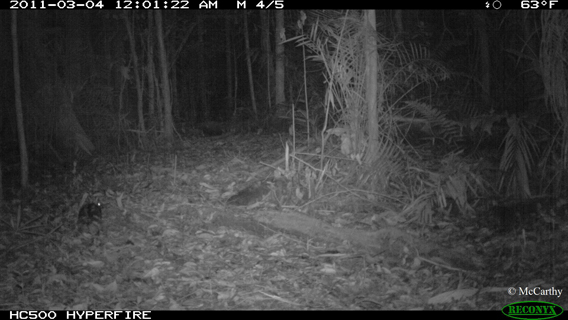 Can you spot the Sumatran striped rabbit in this camera trap photo? Photo by: Jennifer McCarthy.